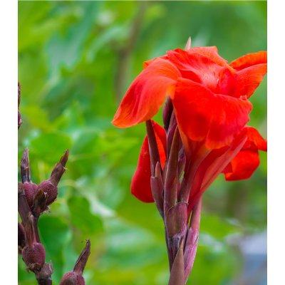 canna indica - Obrázok č. 1