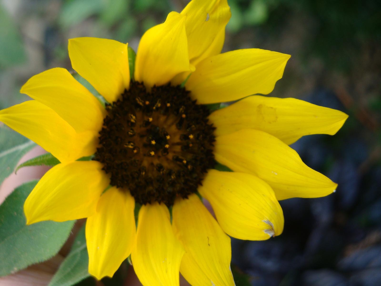 Slnečnica semienka - Obrázok č. 1