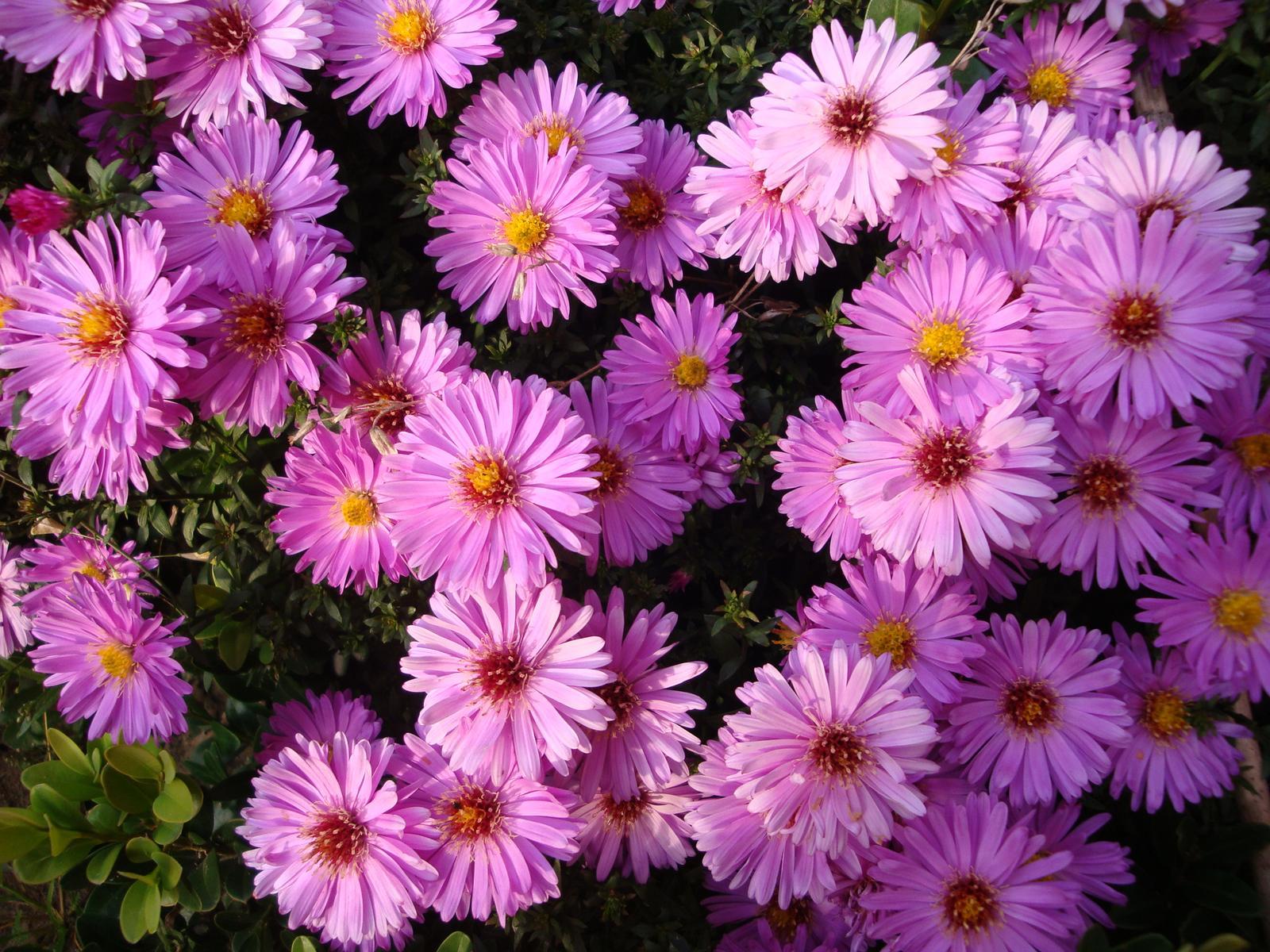 Astra nízka fialová - Obrázok č. 1