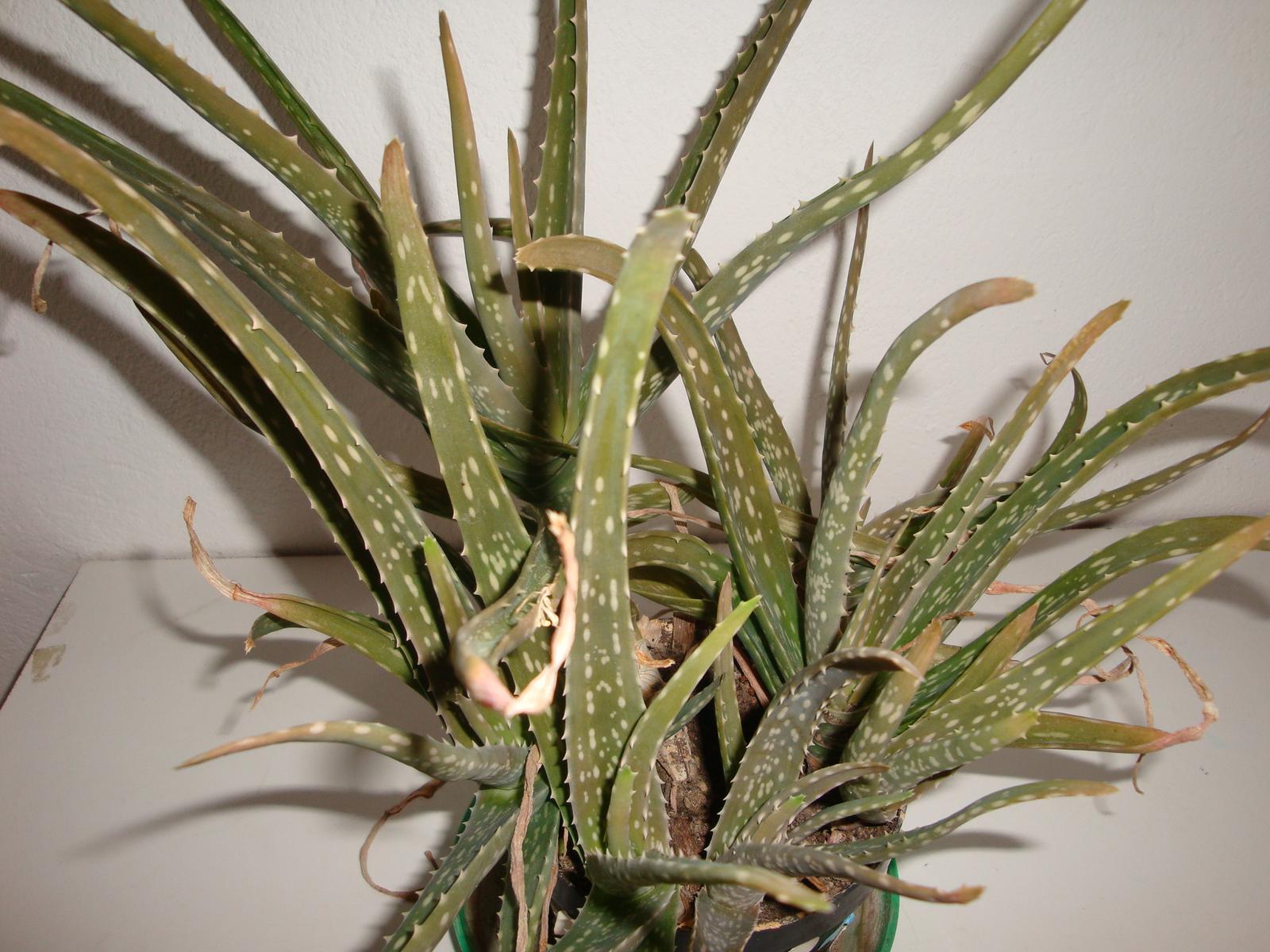 Aloe  - Obrázok č. 1