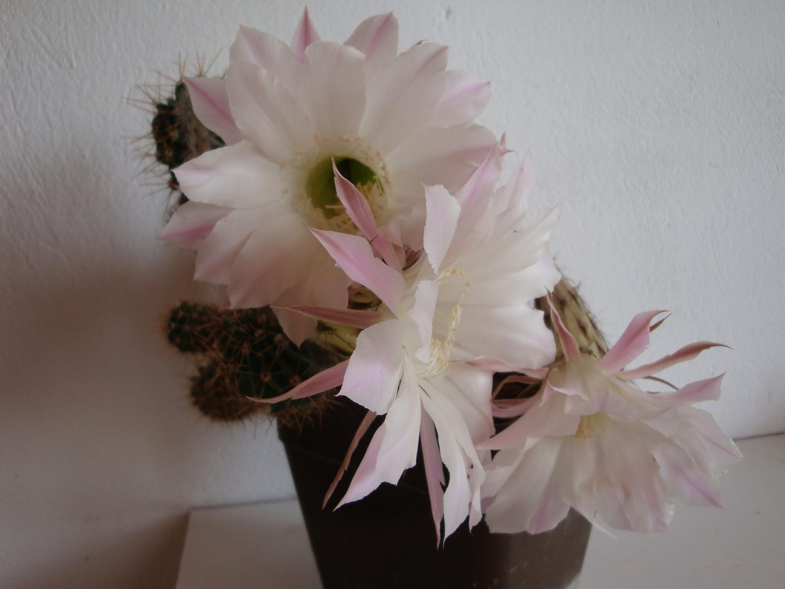 Kaktus - Obrázok č. 1
