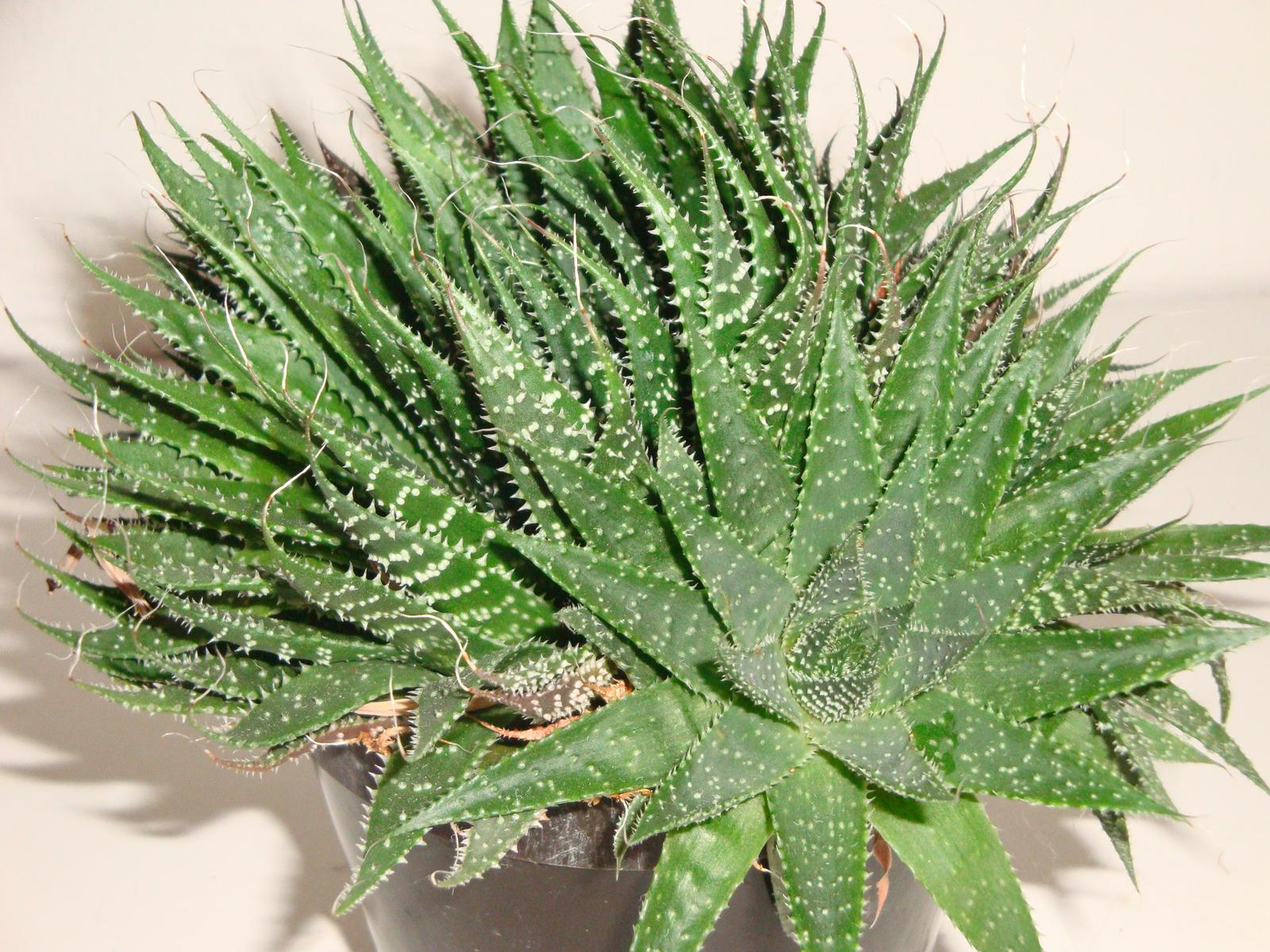 Aloe aristata - Obrázok č. 1