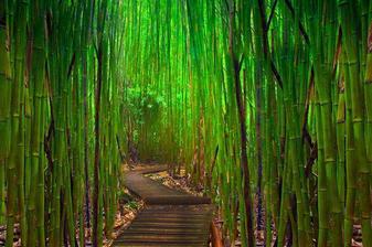 Bambusový les, Maui (Hawaii)