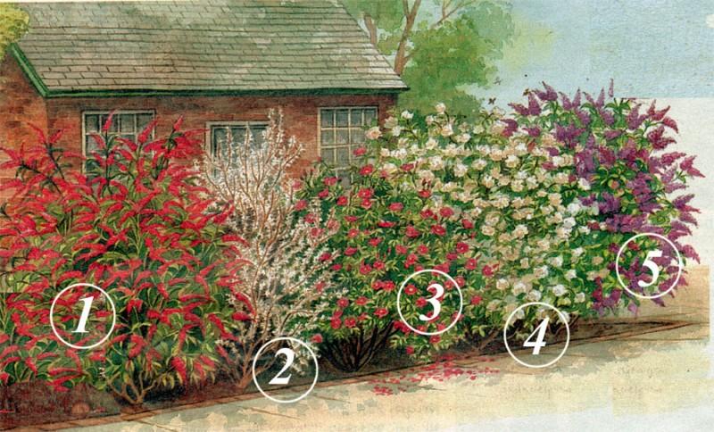 Záhony, výsadby a nejaké tie doplnky - 1. Budleja (Buddleia - 2 - 3 metre, kvitne od júna do septembra)  2. Biela zlatovka (Abeliophyllum) 3. Ruža (Rosa) 4. Pajazmín (Philadelphus - 3 metre, kvitne v júni - júli) 5. Orgován (Syringa)