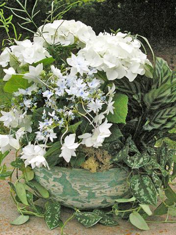 Výsadby do nádob - White Hydrangea Container Garden