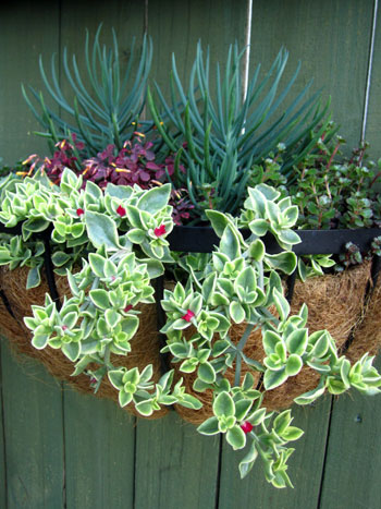 Výsadby do nádob - Succulent Wall Hanging Container Garden