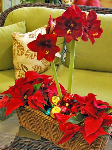 Výsadby do nádob - Festive Holiday Blooms