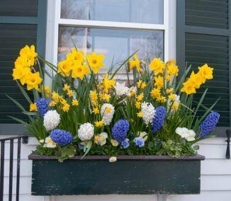 Výsadby do nádob - Pestovanie cibuľovín v kvetináči