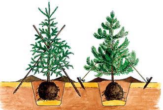 výsadba ihličnanov