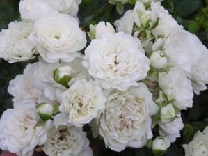 Dnes zasazeny Rosa Fairy White