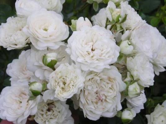 Inspirace - Dnes zasazeny Rosa Fairy White