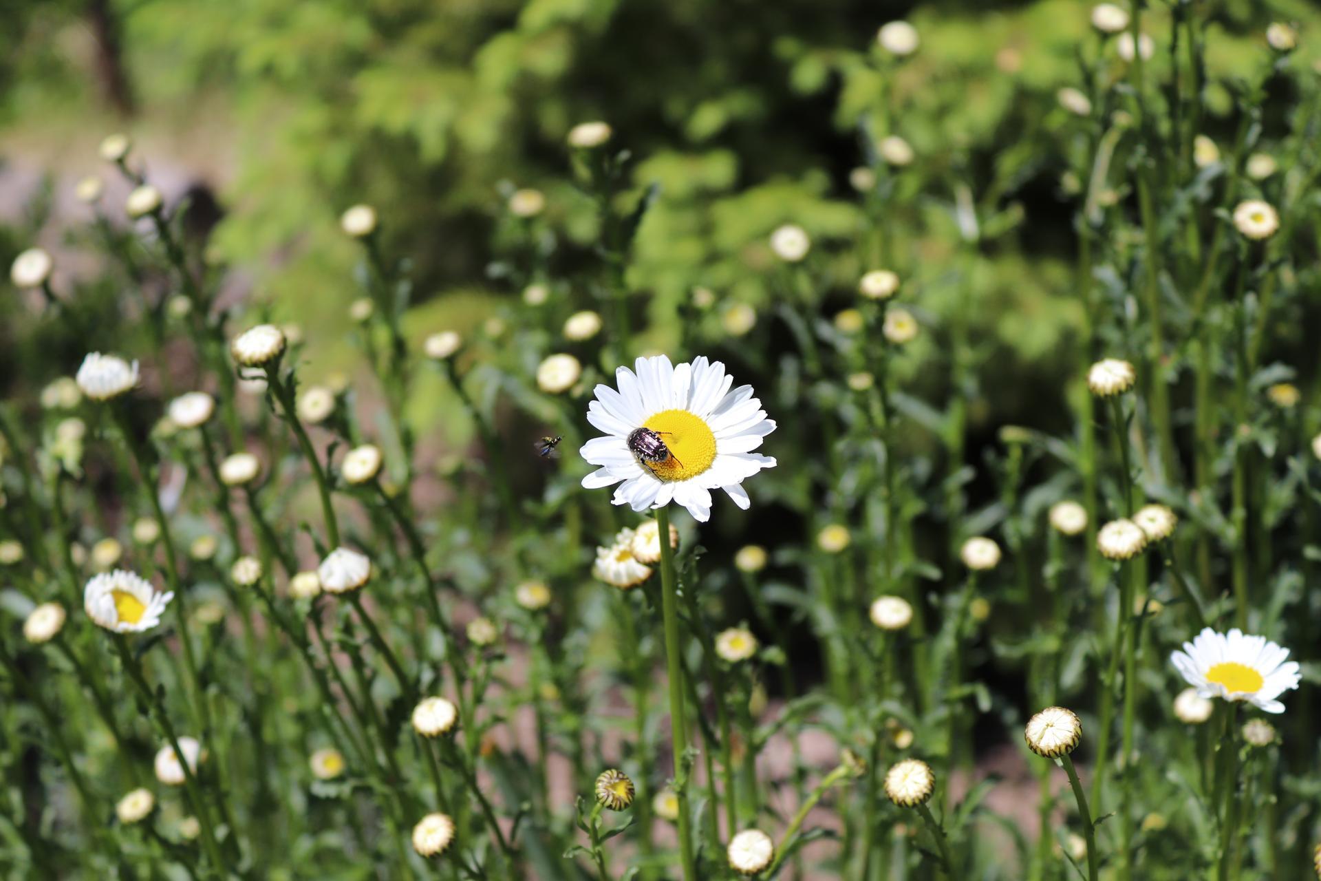 lúčne kvietky v našej záhrade - Obrázok č. 2
