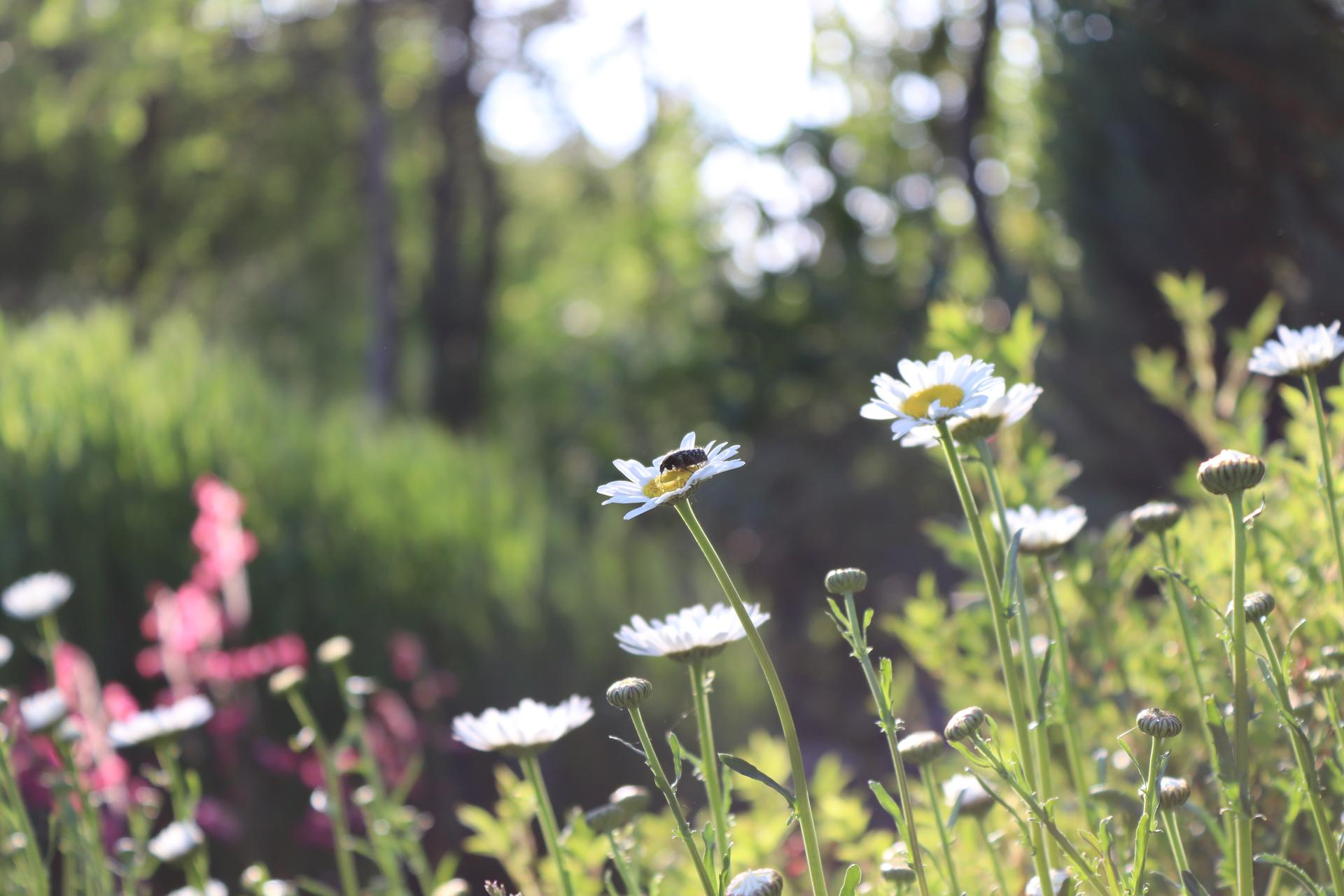 lúčne kvietky v našej záhrade - Obrázok č. 3