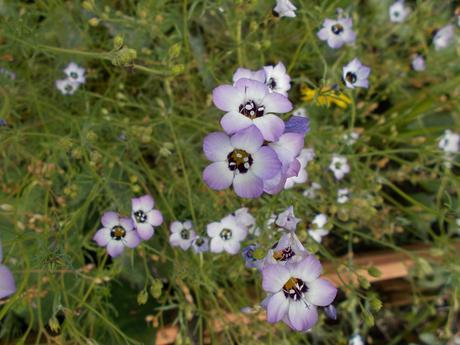 Gilia tricolor - Obrázok č. 1