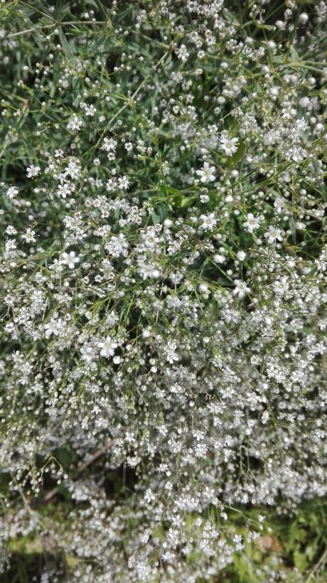 gypsomilka semená - Obrázok č. 1