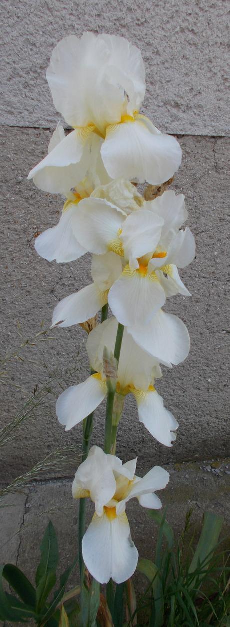 Irisy - Obrázok č. 1