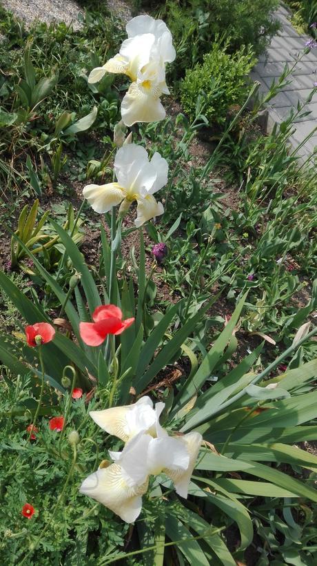 Irisy - Obrázok č. 2