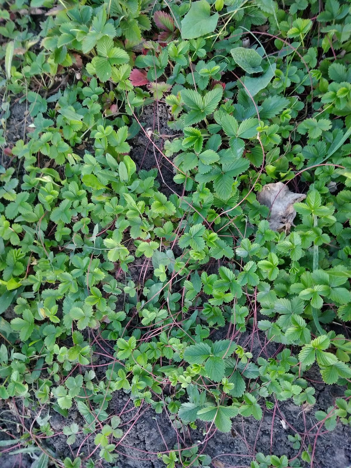 Jahoda mesačná (odroda lesnej jahody) - Obrázok č. 4