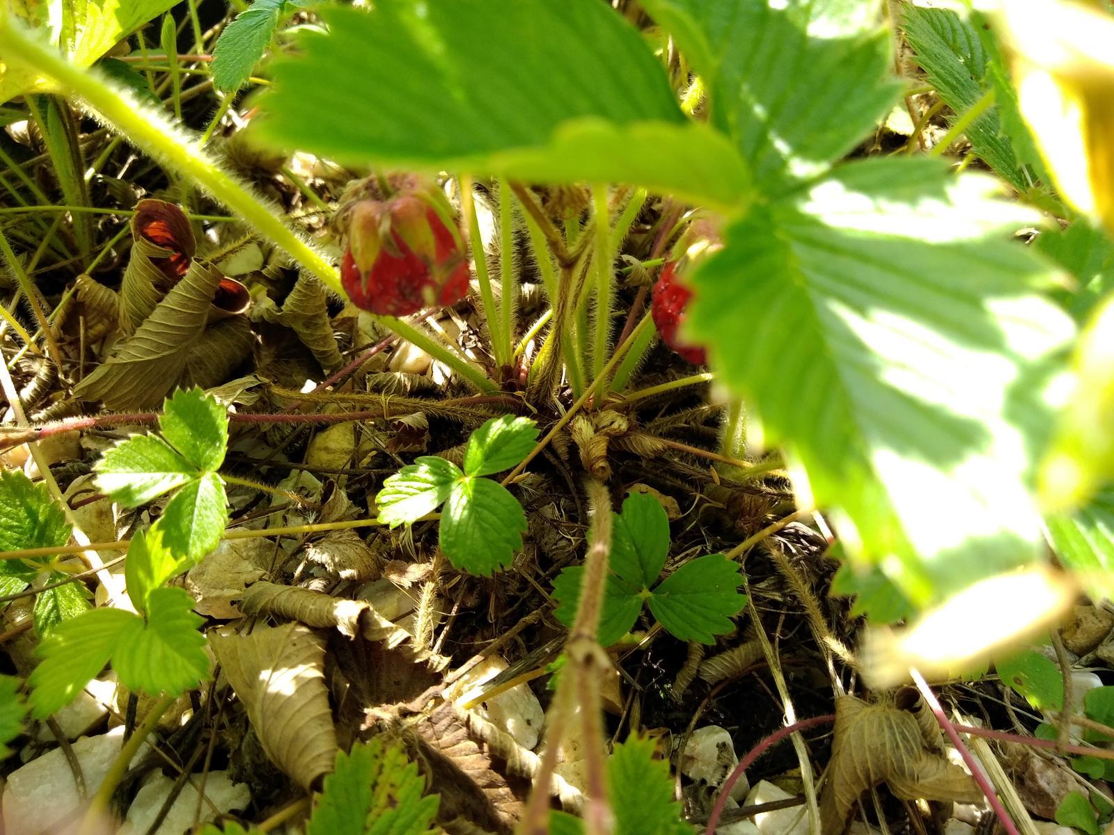 Jahoda mesačná (odroda lesnej jahody) - Obrázok č. 2