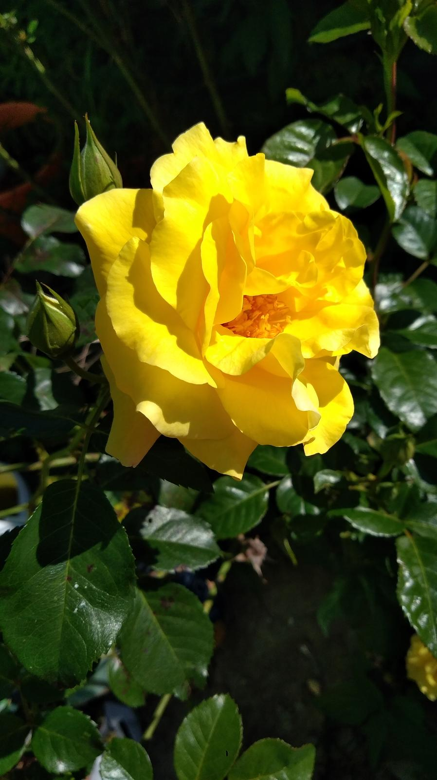 semená ťahavej ruže - Obrázok č. 1