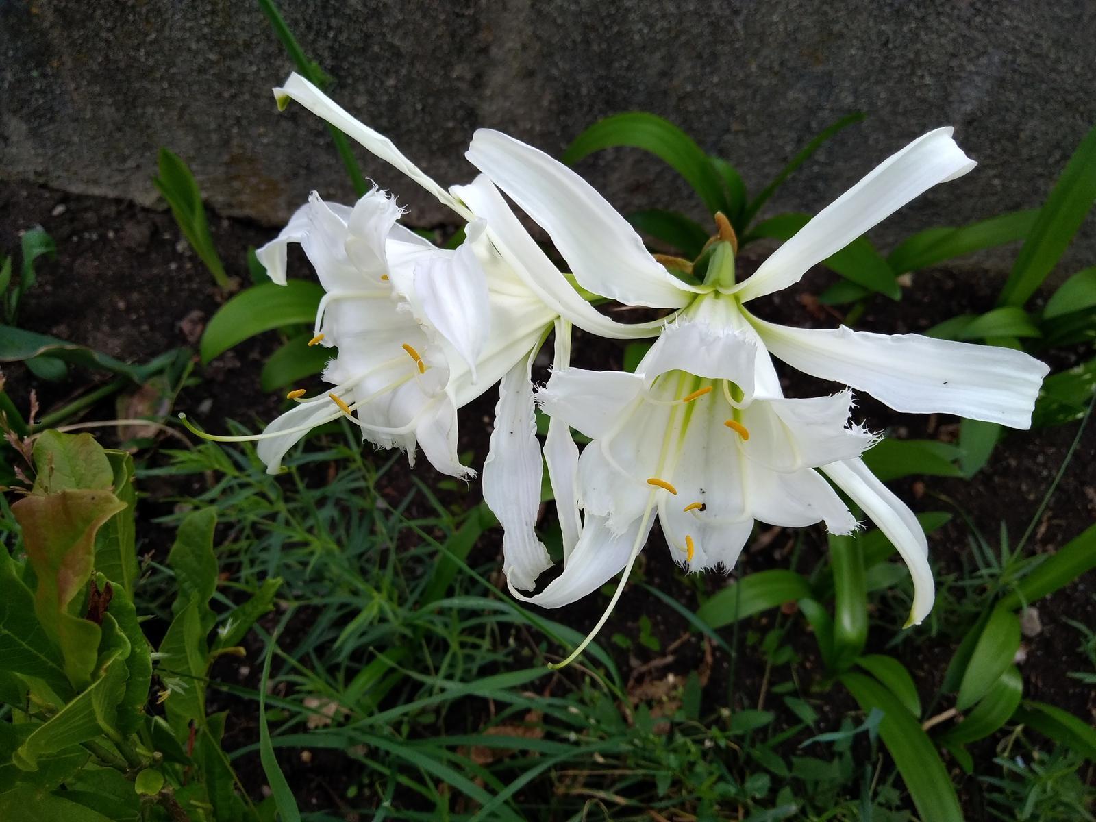 hymenocallis festalis - Obrázok č. 1