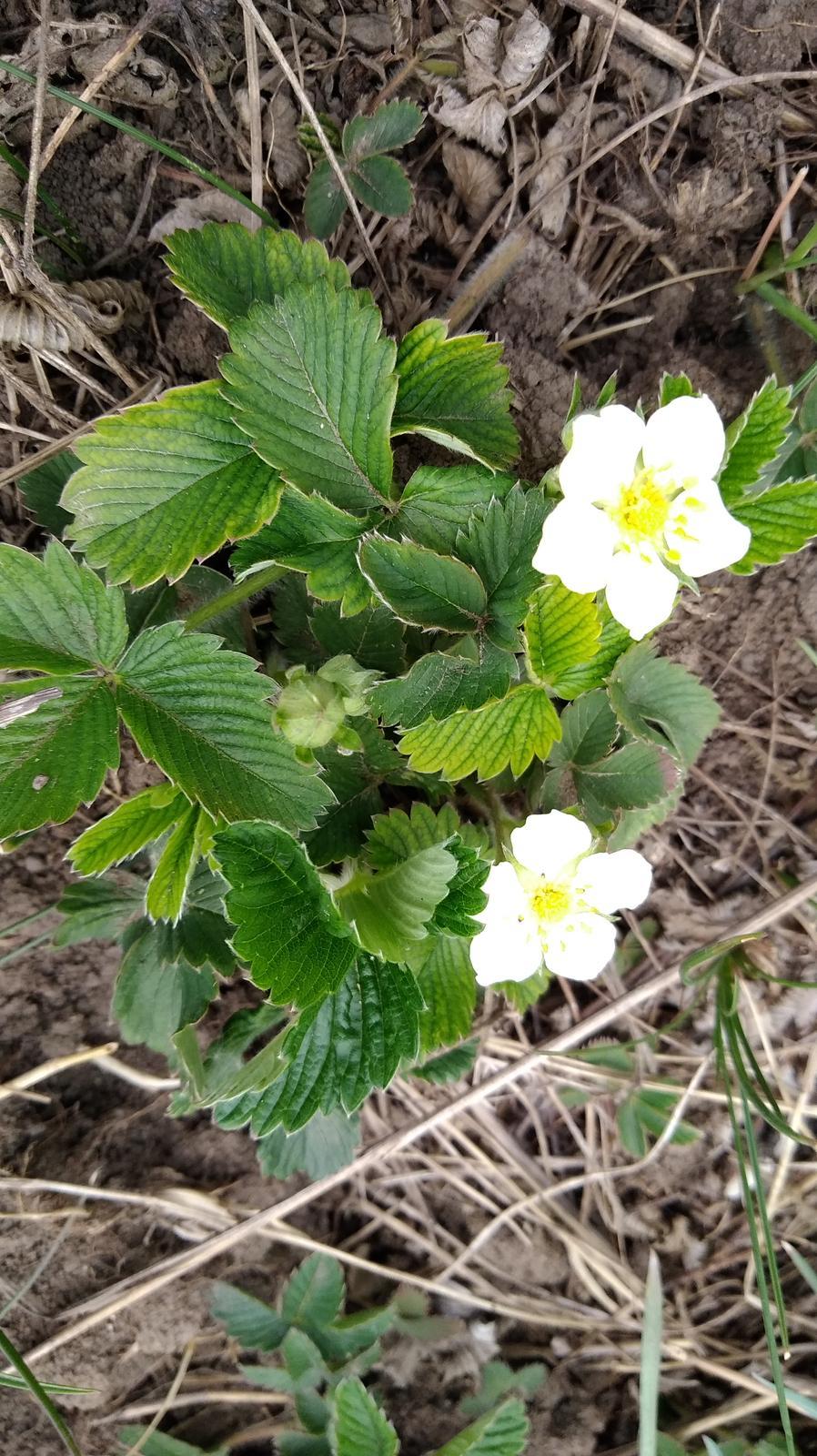 jahoda mesačná (odroda lesnej jahody) - Obrázok č. 1