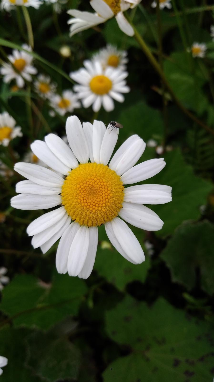 Margaréta biela - Obrázok č. 1