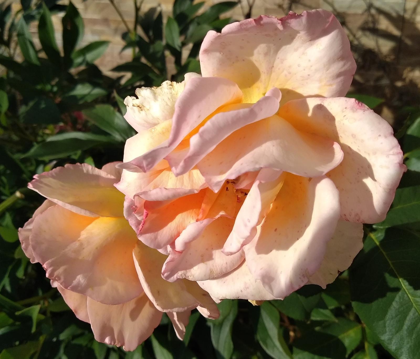 semená oranžovej ruže - Obrázok č. 1