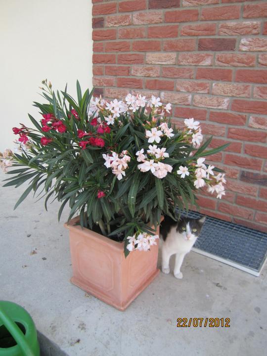 Bývame a dokončievame - Oleander bicolor .. a nas Bery pozuje pri nom  :-D