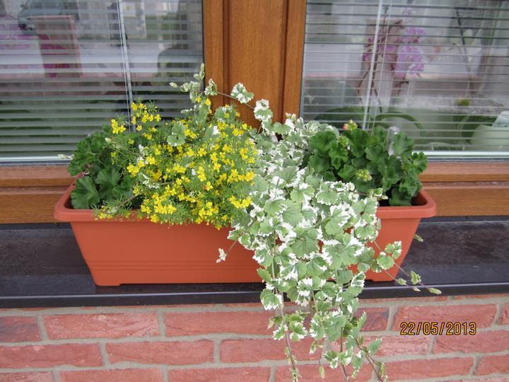 Bývame a dokončievame - v okienkach.... muskaty konecne maju puky, uz nech kvitnuu