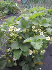 Tento rok budu nenormalne jahody.. ak nezacne pršiavať tak, ze zhniju... na jednom koreni je tak 40 jahod.. nechapačka....