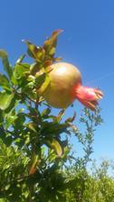 Granatove jablcko.