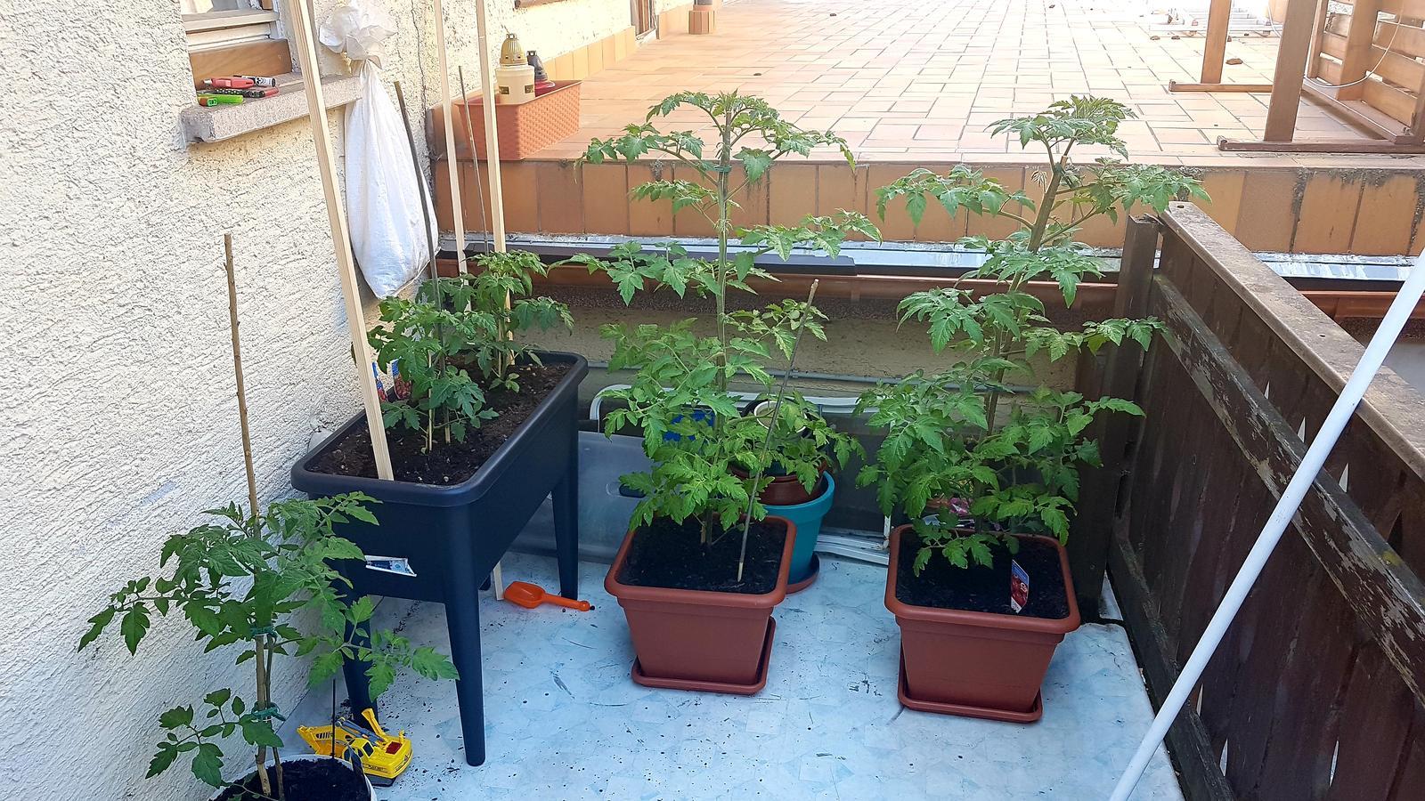 Zdar paradajky sú už... - Obrázok č. 1