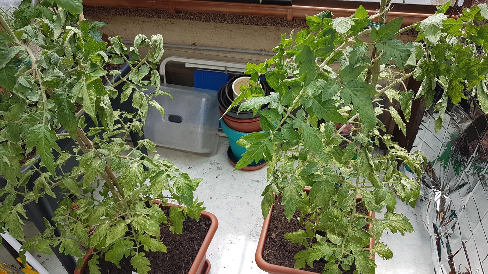 Tak paradajky dostali na... - Obrázok č. 2