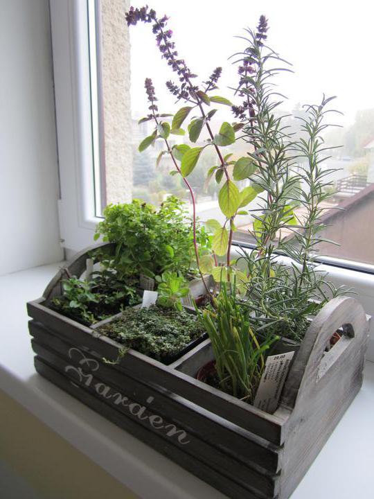 Naše podkroví - bylinková minizahrádka...snad mou péči přežije :-D