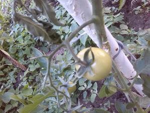 moja prvá paradajka!! :-) poctivo vycipkaná zo semiačka...