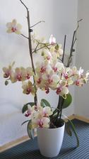 doma mně rozkvetla orchidej - 43 květů
