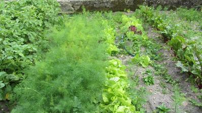 kopru a salátu se letos opravdu dařilo
