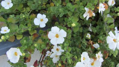 listopad nelistopad, truhlíky pořád kvetou