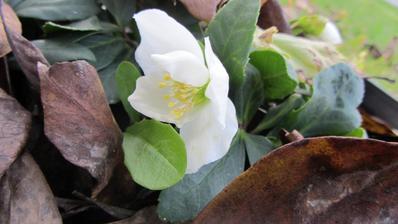 na jaře zasazená čemeřice už krásně kvete