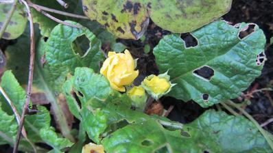 žlutý petrklíč se taky rozhodl, že do jara čekat nebude :-)