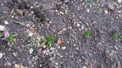 11.01.2015 Bílé hyacinty