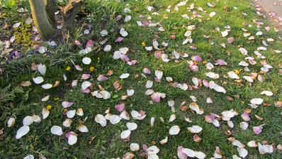 máme ustláno na magnoliích :-)
