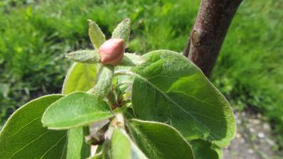 """letos koupený a zasazený stromeček kdouloně má 3 květy! Možná budou voňavá """"jablíčka"""""""