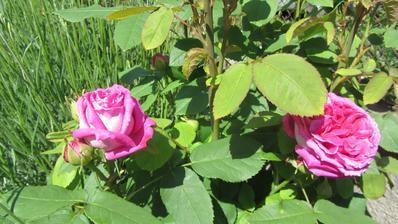 růže od rána krásně rozkvetly