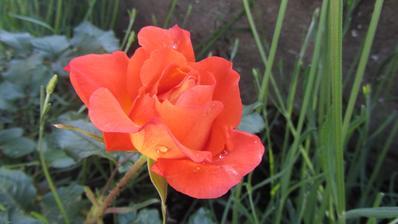 další kráska v květu