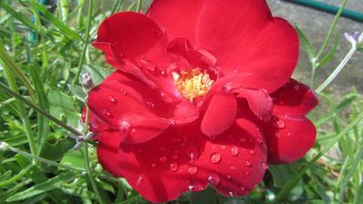 nová růžička s krásně sametovými lístky, zasazená na jaře