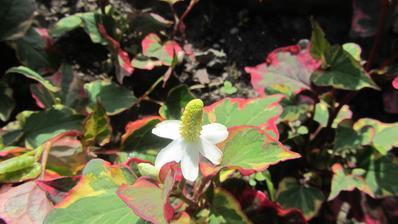 ani jsem netušila, že chameleonka má tak pěkný květ