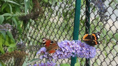 na motýlím keři to žije...
