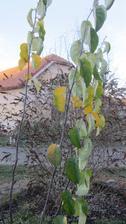 kdouloň ještě listí neschodila